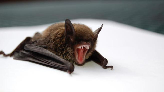 Horseshoe Bat - Black